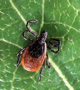 Adult deer tick