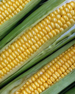 Diagonal ears of yellow corn